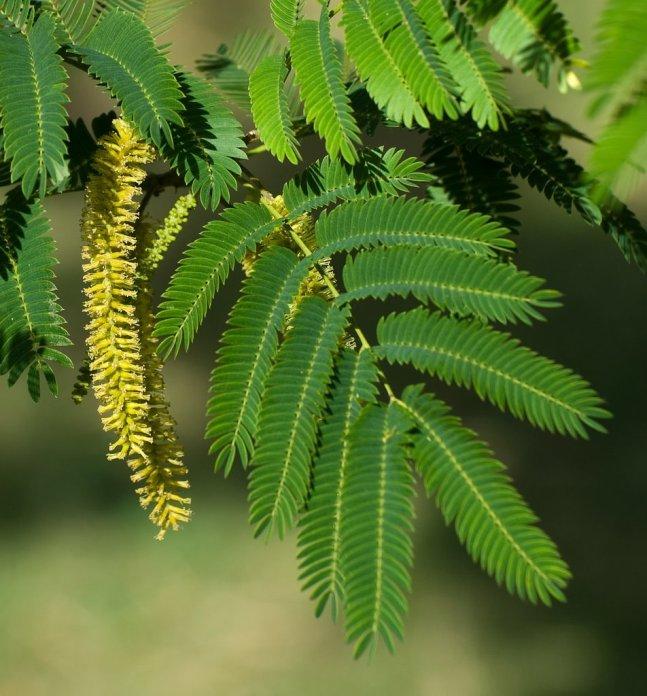 Piptadenia Colubrina