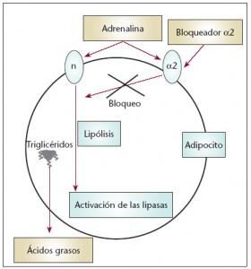 Extracto de Crisantelo: Activo cosmético para combatir la celulitis