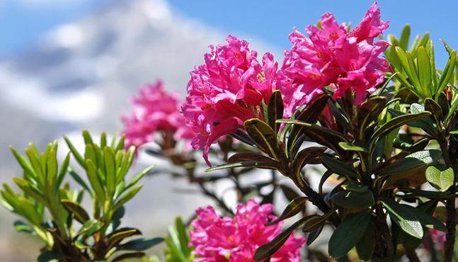 Células Madre de Rosa Alpina