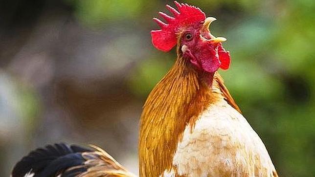 Las crestas de los gallos, ricas en ácido hialurónico